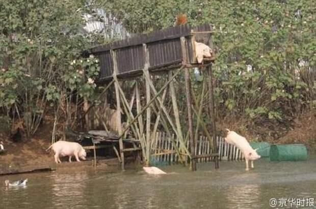 Китайский фермер научил свиней нырять с вышки свинина, свиньи, сельские хозяйство, спорт