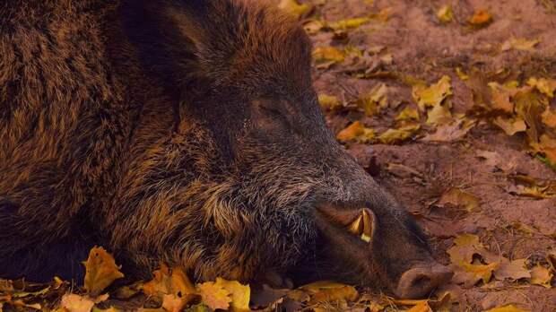 Вдвух районах Ростовской области выявили африканскую чуму свиней