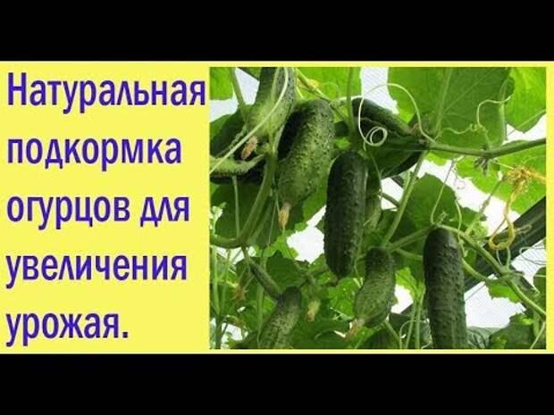 Натуральная подкормка огурцов для увеличения урожая