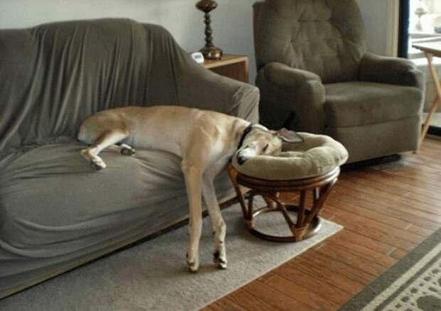 У этих собак был настолько сложный день, что спят они без задних ног
