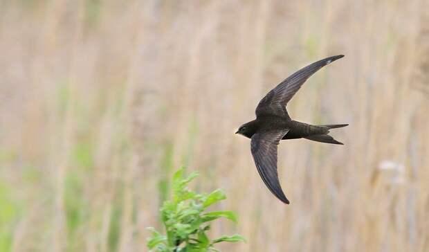 Орнитологи предупредили нижегородцев о«стрижепаде»