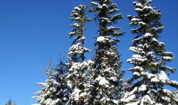 Учёные выяснили, из-за чего хвойные деревья остаются зелёными и зимой