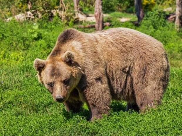 Жителей Узбекистана возмутило убийство медведя россиянином