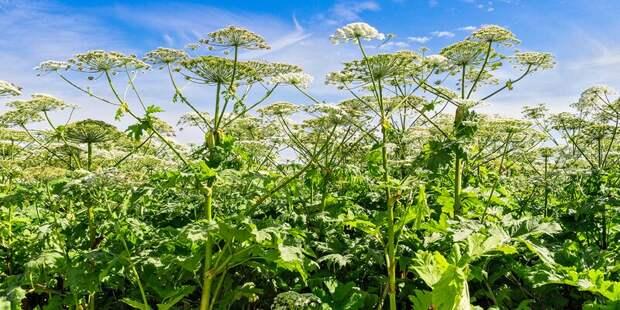 На портале «Наш город» теперь можно сообщить о ядовитых растениях