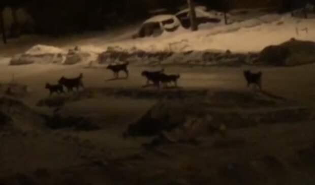 В Кушкуле стая собак держит в страхе местных жителей
