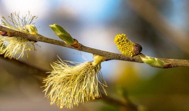 Тюменцам рассказали, как справиться ссезонной аллергией напыльцу растений