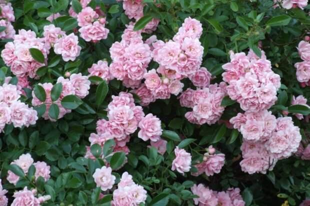 Почвопокровная роза обильно цветет.