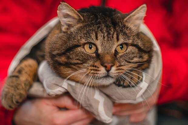 Лаполеон. Диета для кота, с целью найти его талию
