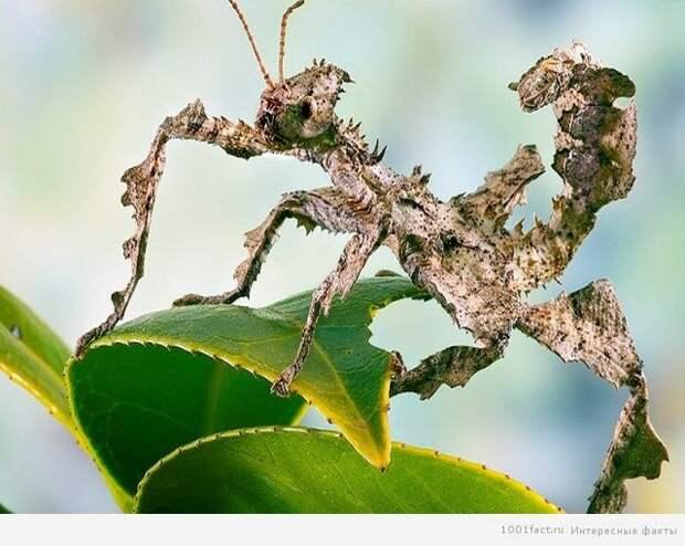 Австралийский палочник насекомые, палочники, привиденьевые