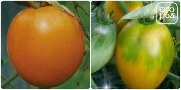 томаты, помидоры Эльдорадо