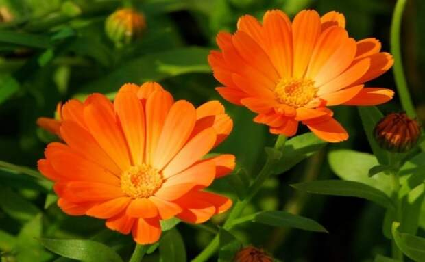 Запахи растений, которые отпугивают комаров