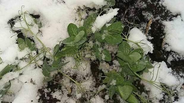Зимующий горох. Фото с сайта images.ua.prom.st