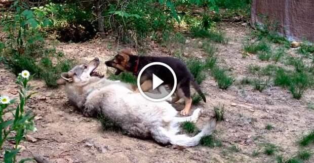 Щенок немецкой овчарки и огромный волк