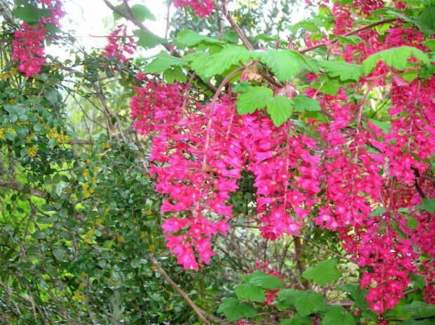 Яркие цветки декоративной смородины