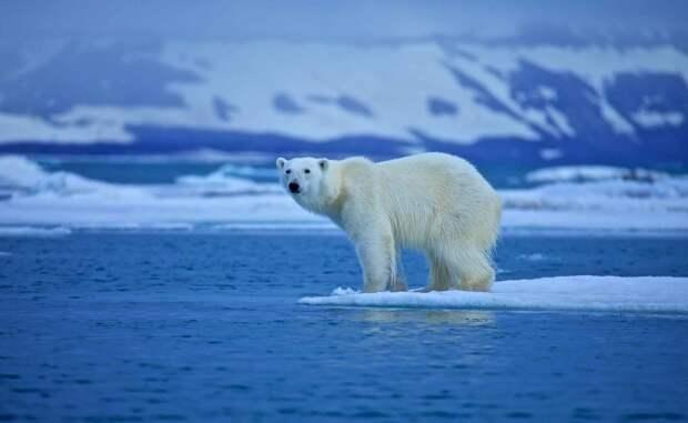 Шерсть белого медведя уникальна