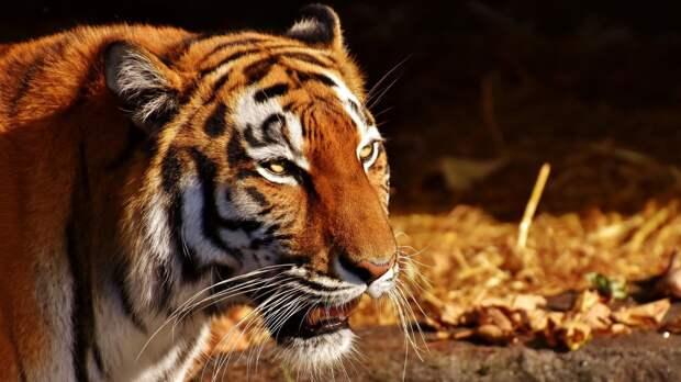 Фотоловушка «поймала» момент общения пятнистого оленя с амурским тигром