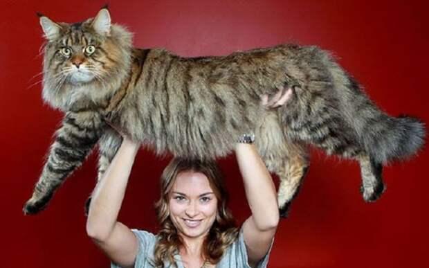 Мейн-кун по кличке Стьюи в 2010 году был занесен в Книгу рекордов Гиннесса как самый длинный кот в мире: его длина от кончика носа до кончика хвоста составляет 123 сантиметра! | Фото: udivitelno.com