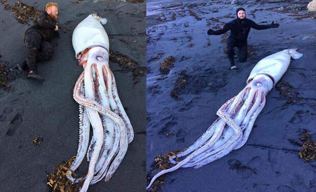 Мертвого гигантского кальмара выбросило на берег.