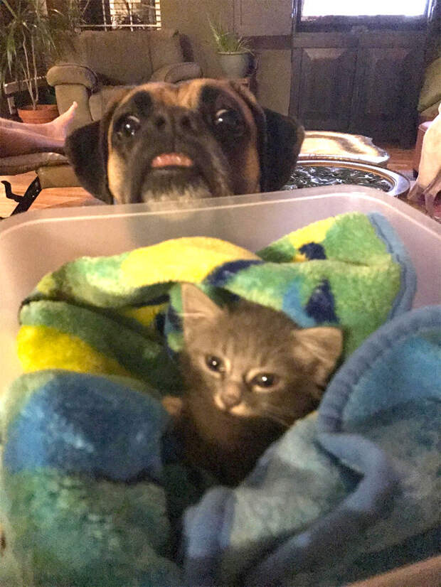 Боксер стал спасенному котенку самым любящим другом