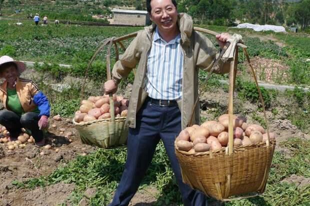 Сажаем картошку китайским методом: окучивания не требует и дает 2 ведра с куста