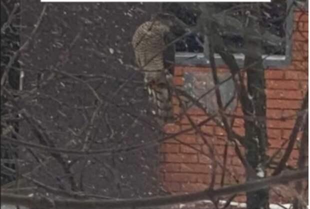 В Алтуфьеве сокол попал в объективы камер