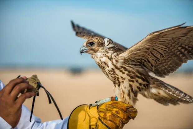 Сокол стал помогать древним охотникам раньше, чем предполагалось