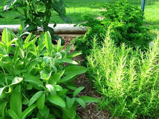 пряные садовые травы