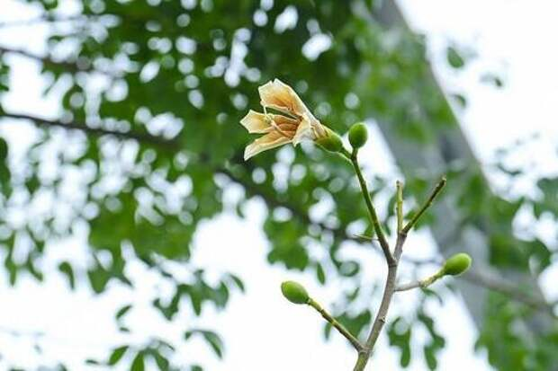 В парке «Краснодар» зацвело бутылочное дерево