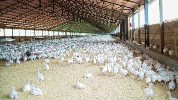 Проблемные птицефабрики возобновили работу вРостовской области