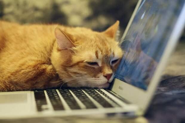 Учёные оценили вклад кошек в работу хозяев на «удалёнке»