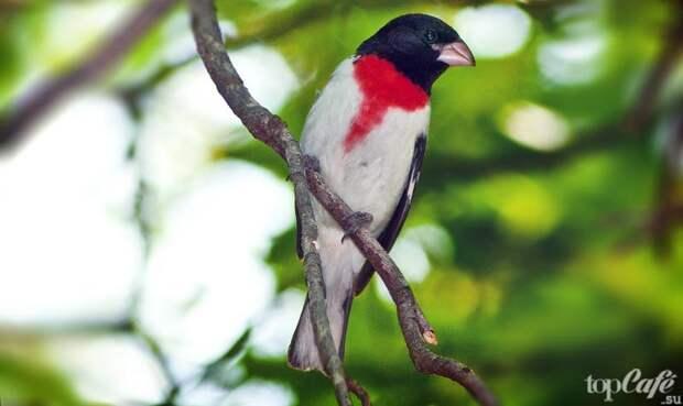 Красногрудый дубоносовый кардинал. CC0
