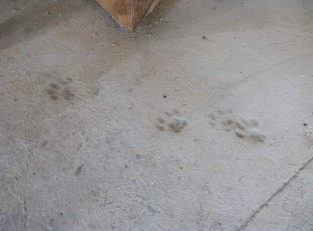 По свежезалитым полам однажды утром прошёлся котэ. Это хорошая примета. своими руками, сделай сам