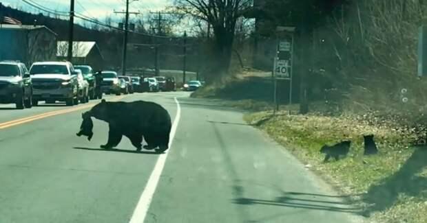 Мама-медведица переходит дорогу со своими непослушными детенышами