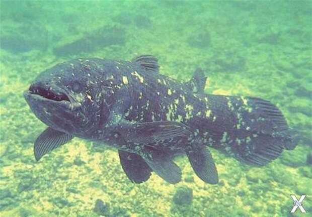 Кистепёрая рыба также считалась вымер...