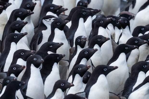Фотограф сделал чудесные портреты пингвинов в Антарктиде