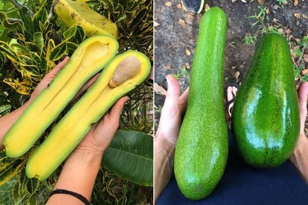 Длинный и гигантский сорта авокадо