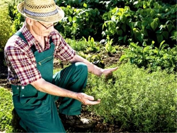 Полезные советы для желающих выращивать лечебные травы на даче