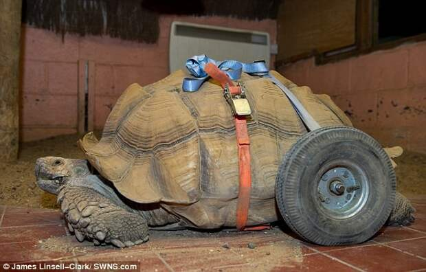 Самец черепахи стал инвалидом после 2-месячного секс-марафона животные, секс-марафон, черепаха