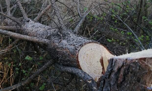«Маньяк сбензопилой»: активисты обратили внимание намассовый спил сосен вЯгринском бору