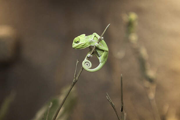 cute-baby-chameleons-58303ea915b2d__700