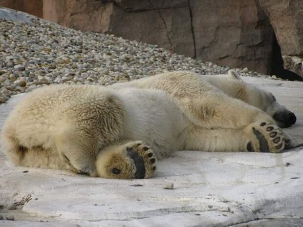 В зоопарке Екатеринбурга из-за мячика, брошенного посетителями, умер белый медведь