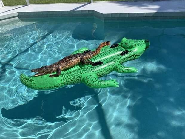 В США крокодил решил покататься на надувном крокодиле