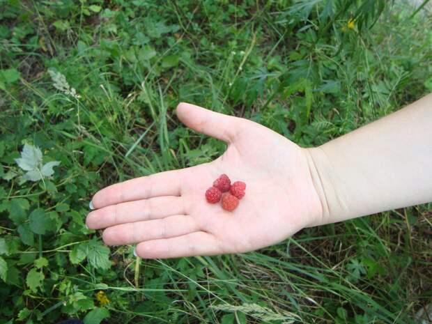 Почему мельчают ягоды малины
