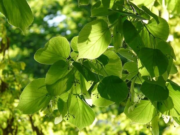 В парке «Кузьминки-Люблино» посадили десятилетние именные липы