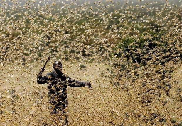 Саранча в Центральной Азии – проблема столь же острая, как и в прошлом году
