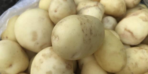 Как получить богатый урожай картошки: способ американских агрономов