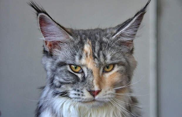 Что нужно знать, прежде чем завести кошку породы мейн-кун: характеристика, описание и уход