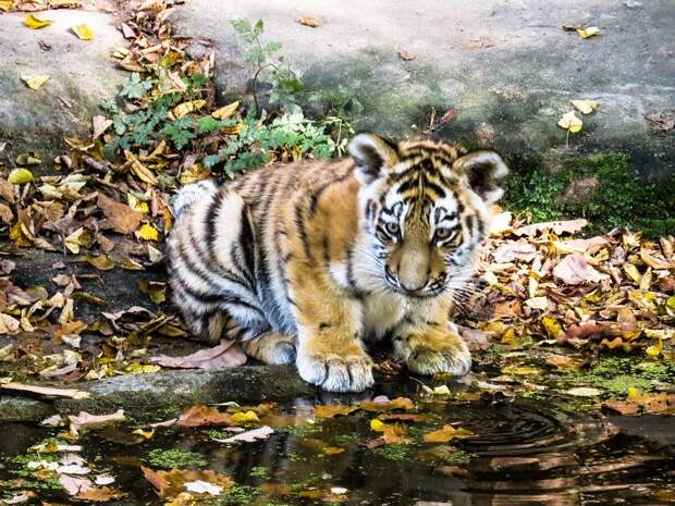 В Приморье травматологи провели 2 уникальные операции для дикого тигренка