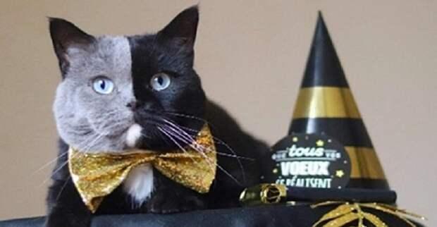 Стал отцом «Двуликий» кот из Франции по кличке Нарния