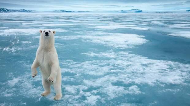 Белый медведь хищник